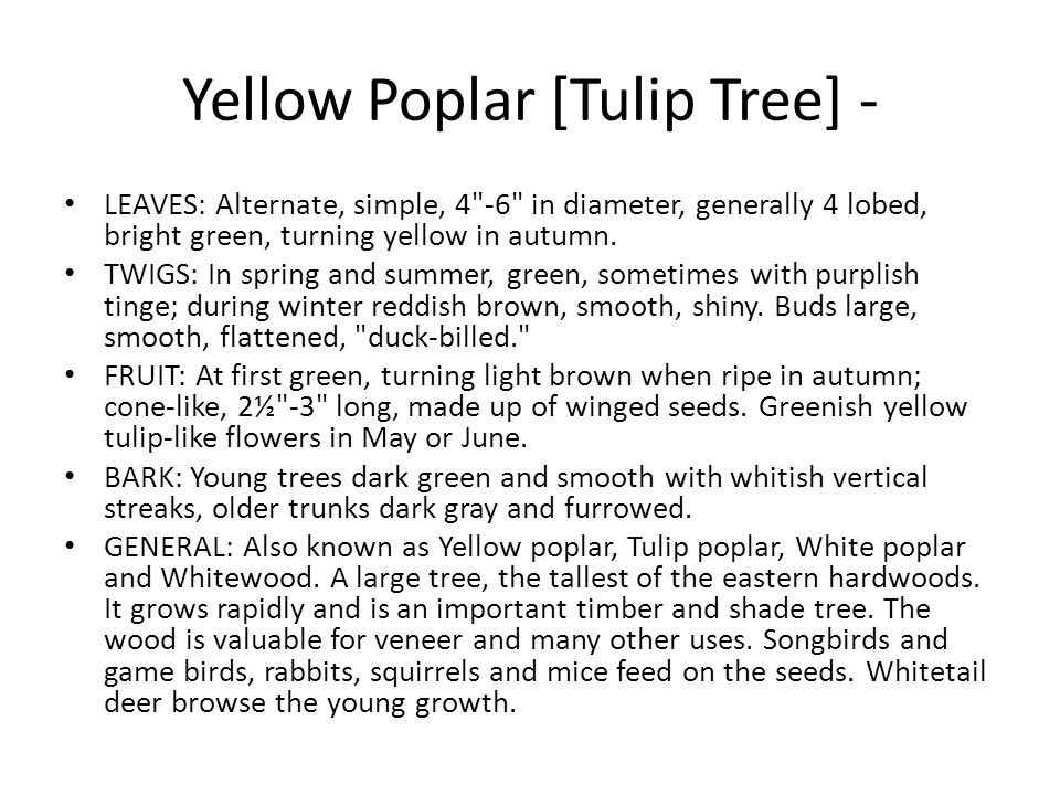 Yellow Poplar [Tulip Tree] -